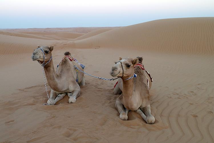 Kamele in der Wahiba Wüste, Oman